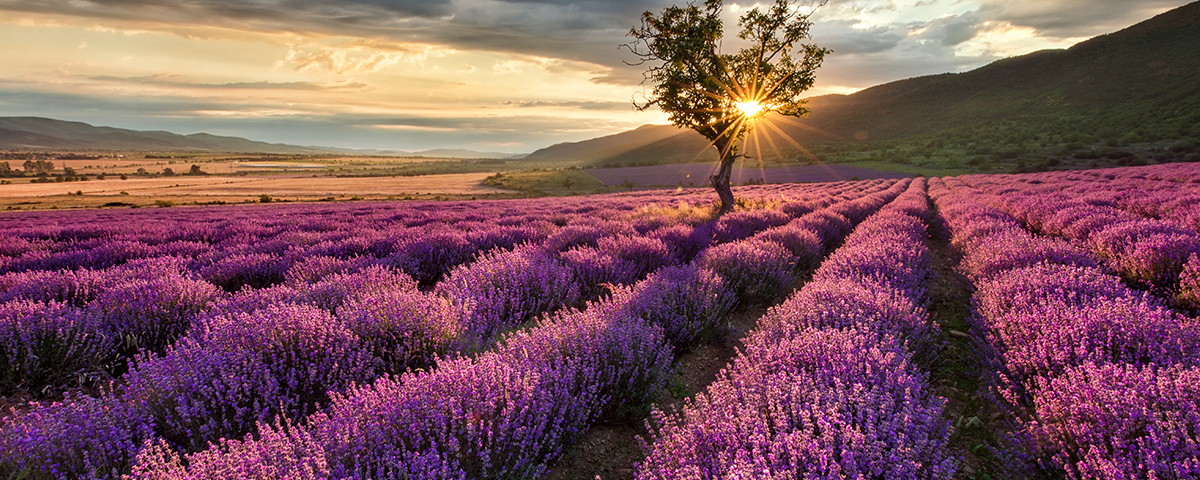 Seven Benefits Of Lavender Scent For Business Healthcare And Retail