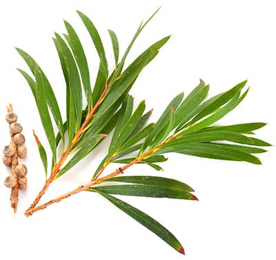 Eucaluptis & Tea Tree
